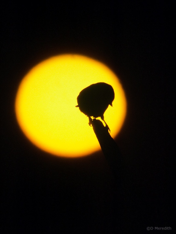 Blue Tit silhouetted against the rising sun, Cheshire, England