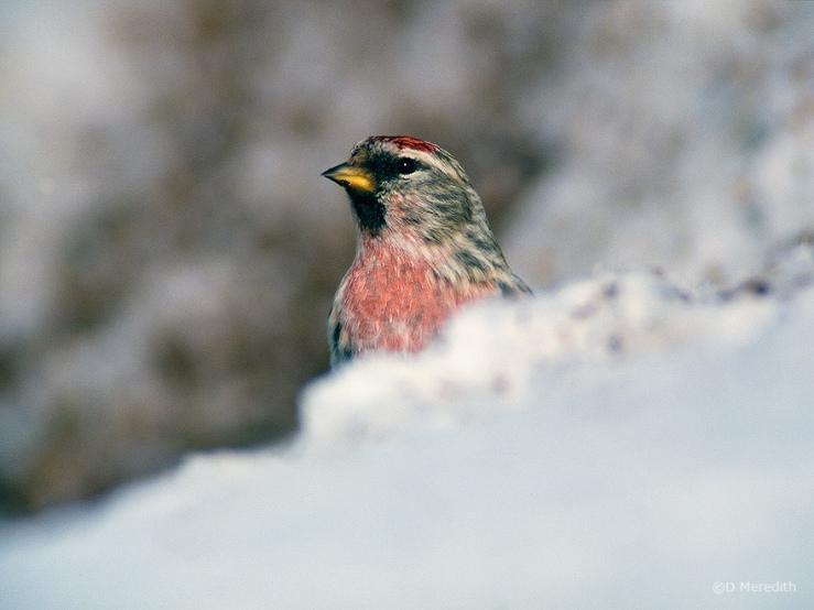 Common Redpoll, Saskatchewan, Canada