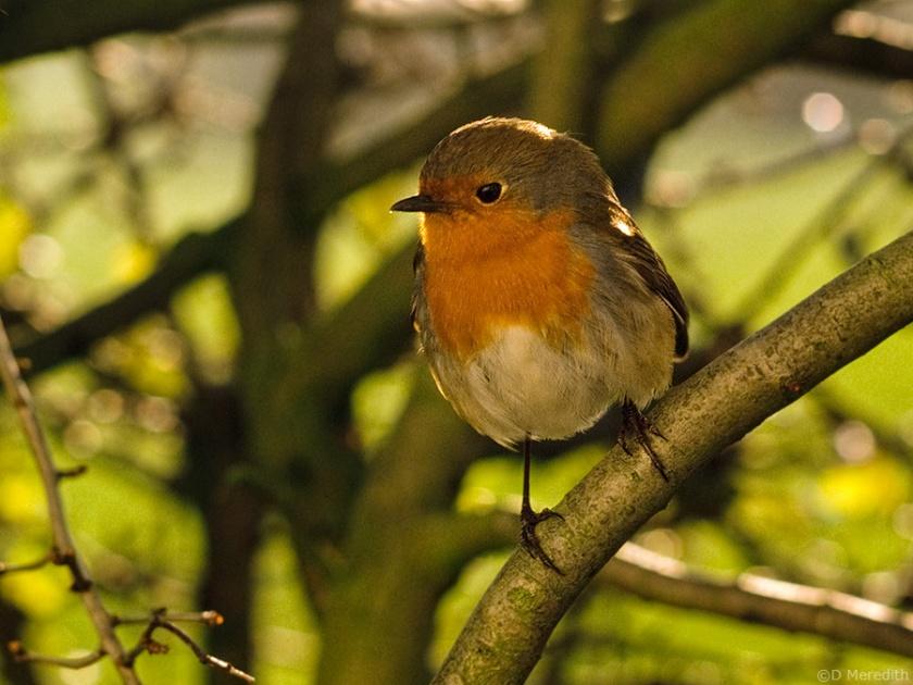 Eurasian Robin, Cheshire, England