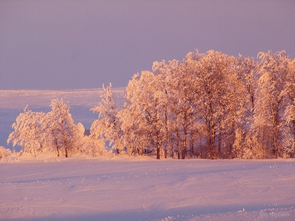 Golden light on hoarfrost covered trees, Saskatchewan, Canada