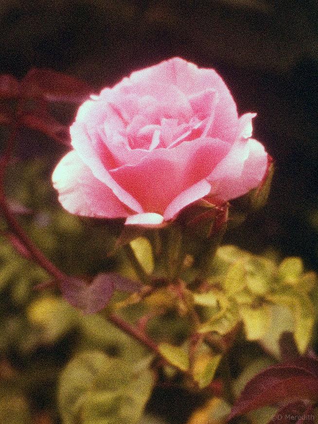 Soft focus Rose taken on Scotchchrome 1000, Cheshire, England
