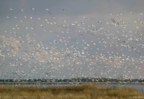 Snow Geese on autumn migration, Last Mountain Lake, Saskatchewan, Canada
