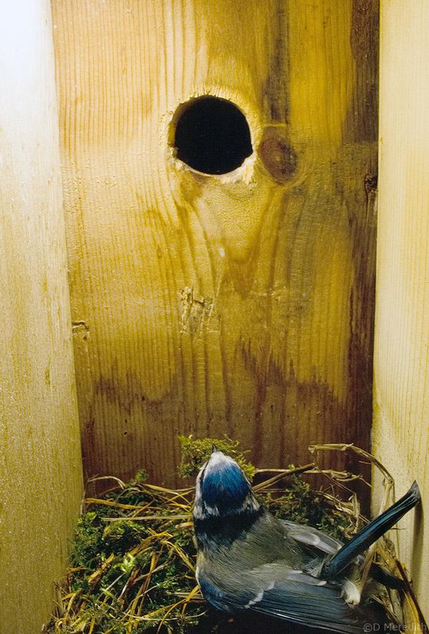 Adult Blue Tit nest building, Cheshire, England