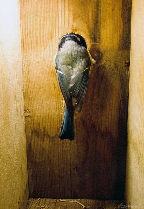 Adult Blue Tit pecking at nestbox hole, Cheshire, England