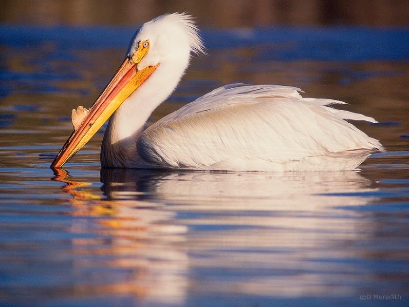 American White Pelican, Saskatchewan, Canada