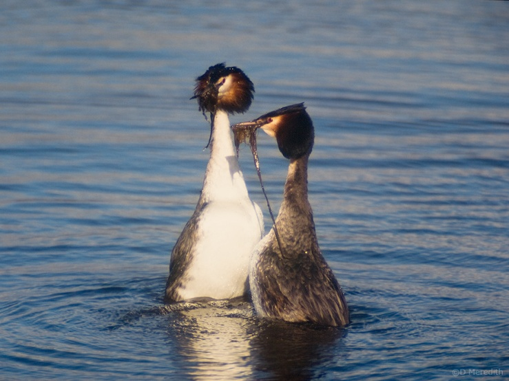 Great Crested Grebes displaying, Hurleston Reservoir, Cheshire, England