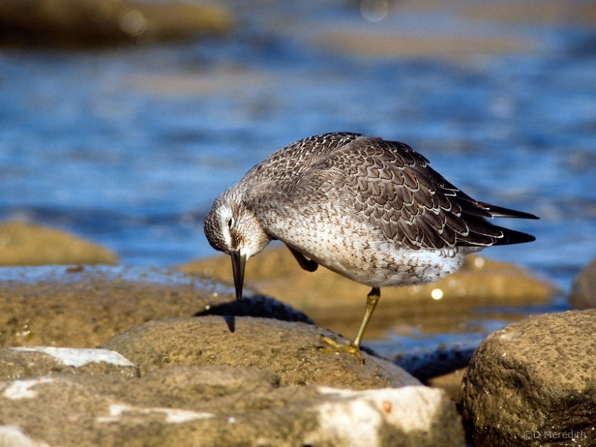 Juvenile Red Knot scratching, Ontario, Canada