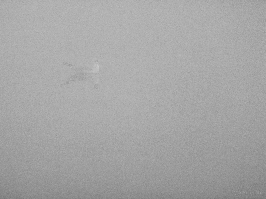 Black-headed Gull in fog, Hurleston Reservoir, Cheshire, England