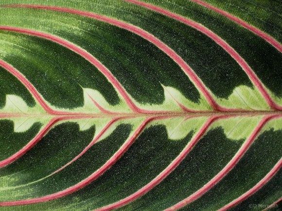 Red-herringbone Plant leaf detail