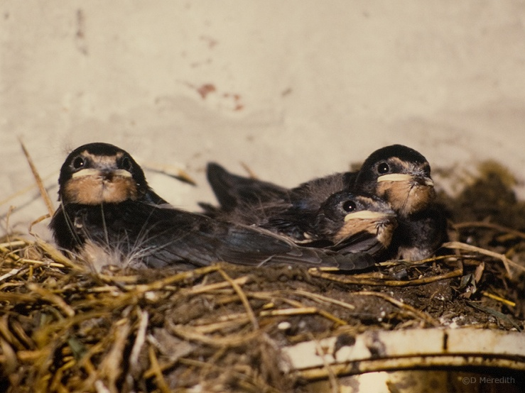Juvenile Barn Swallows in nest, Cheshire, England