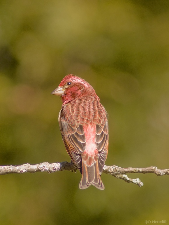 A male Purple Finch checking what the photographer is up to
