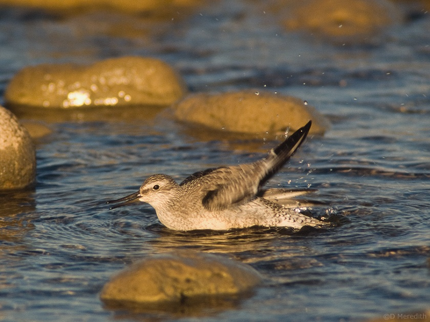 Juvenile Red Knot bathing, Lake Huron shoreline, Ontario, Canada