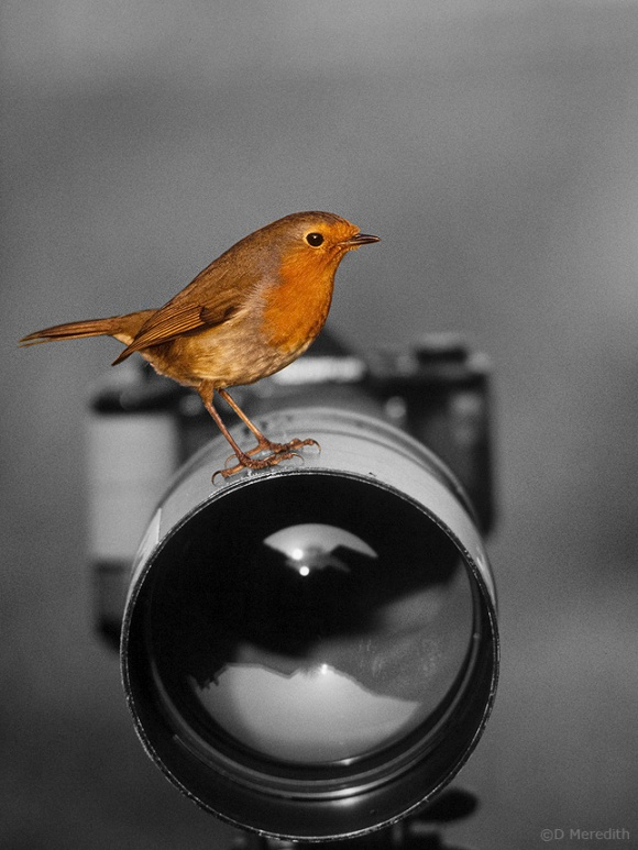 Robin on lens, Cheshire, England