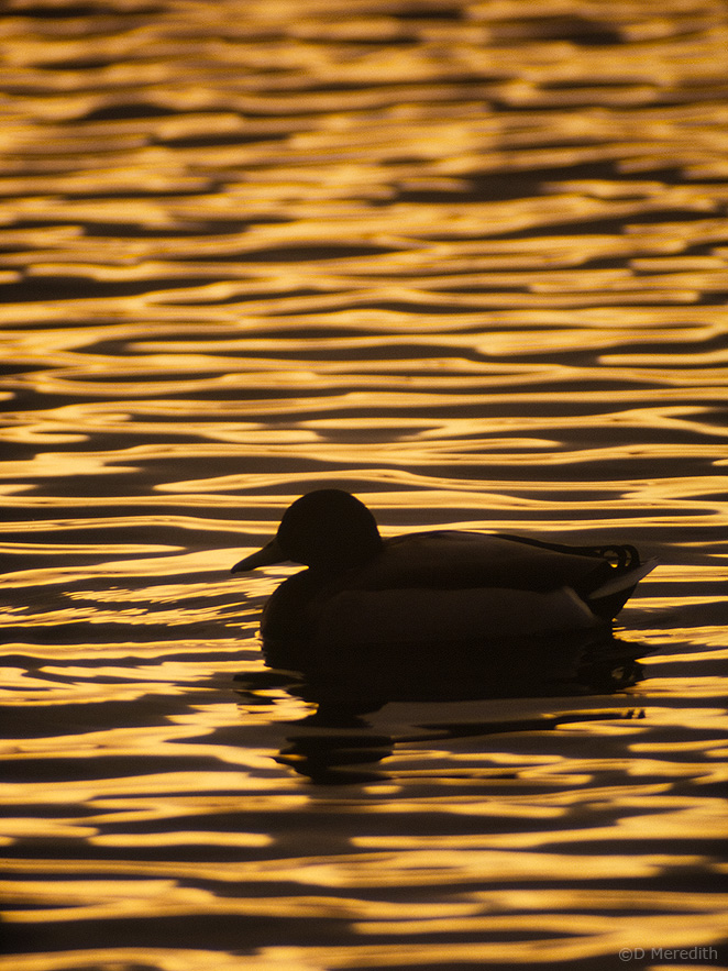 Male Mallard silhouetted at sunset, Lancashire, England