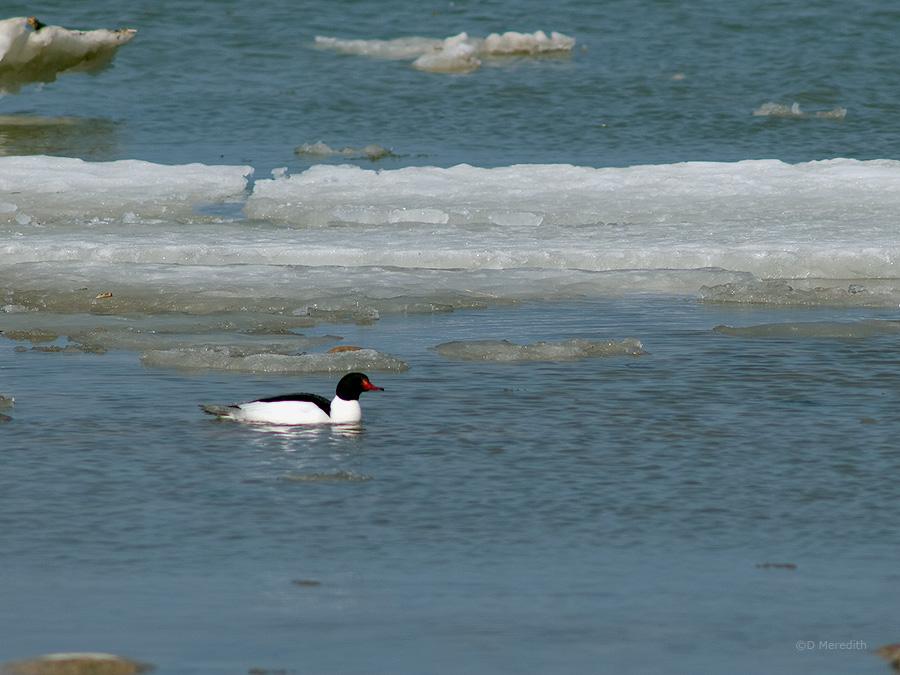 A male Common Merganser amongst ice on Lake Huron