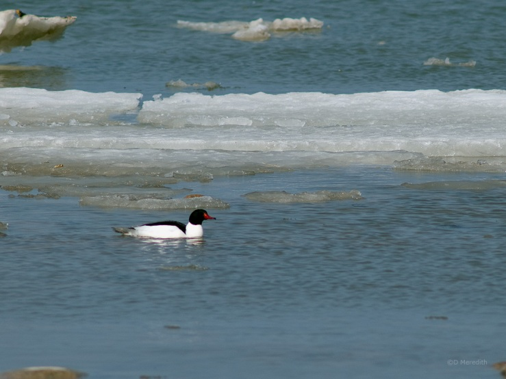 A male Common Merganser amongst ice on Lake Huron