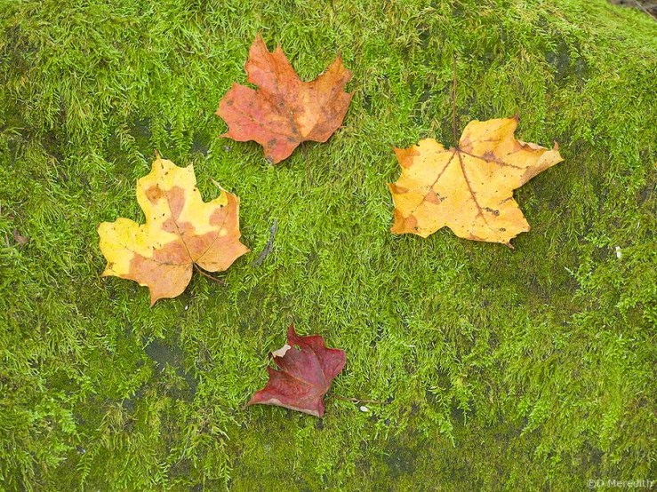 Maple leaves and moss.