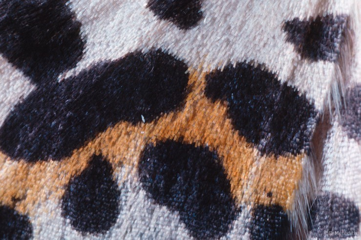 Magpie Moth forewing detail, Cheshire, England