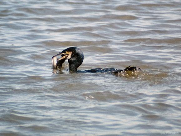 Cormorant versus Eel