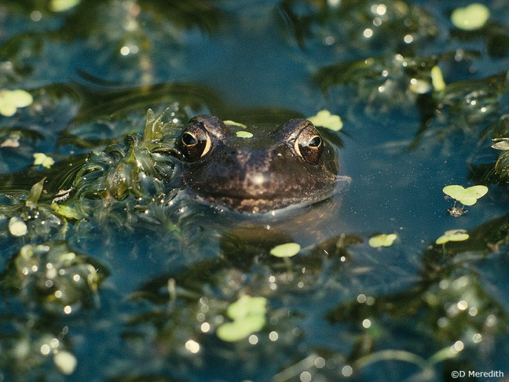 Common Frog watches the photographer