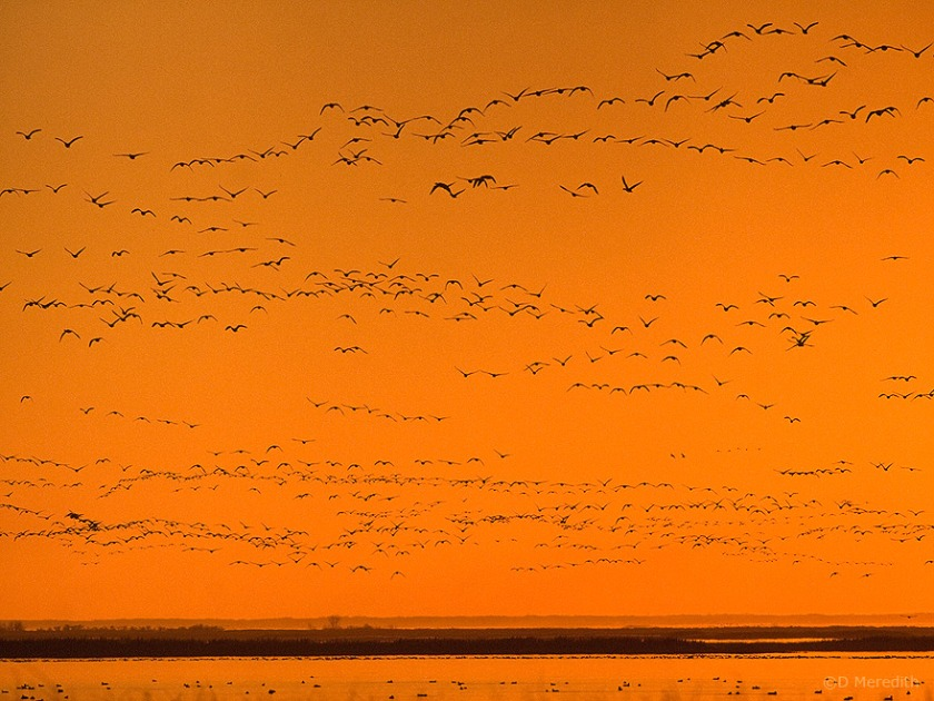 Snow Geese flying in to roost.