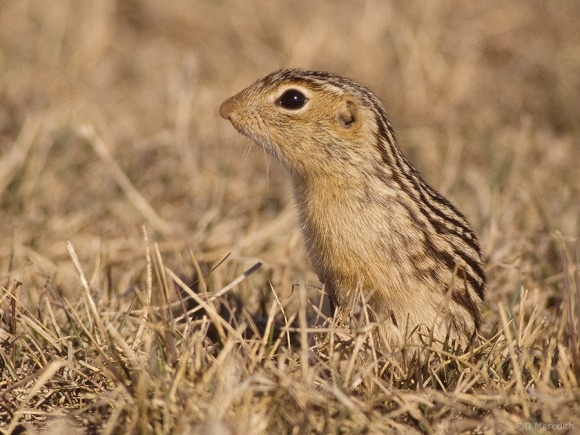 Striped Gopher