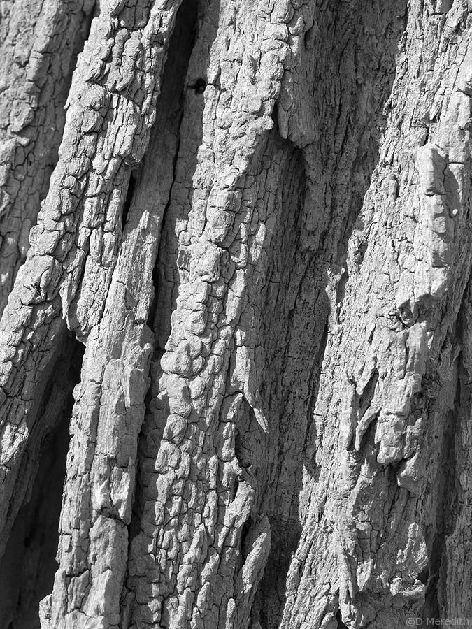 gnarled and wrinkled tree bark