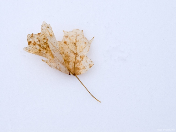 ghost Maple leaf.