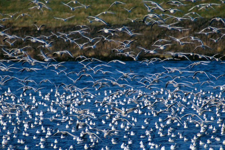 Black-headed Gulls on the move.