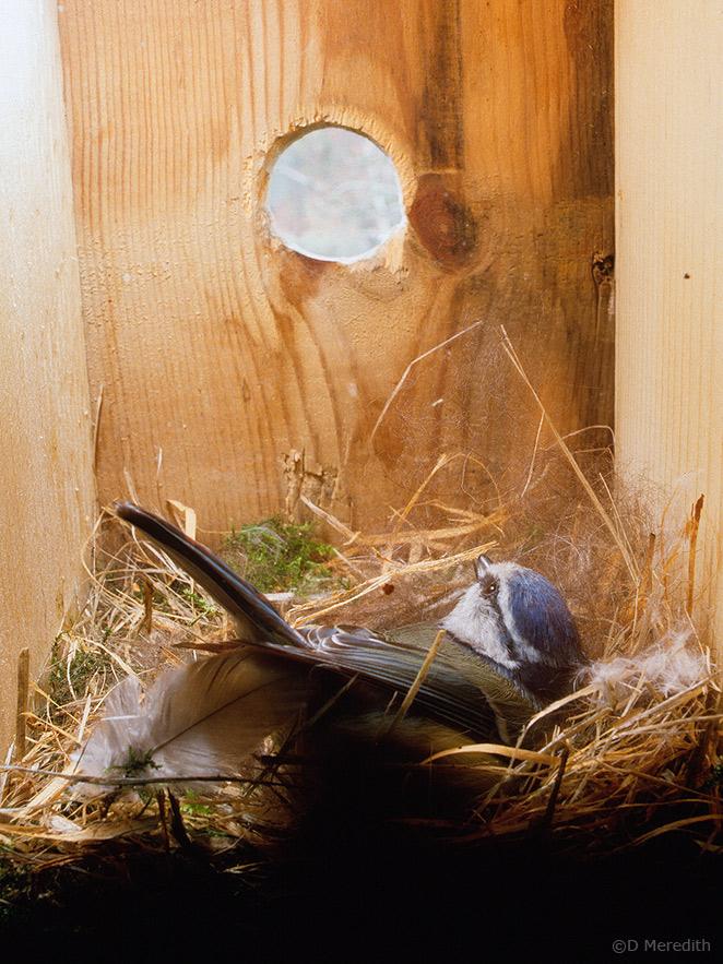 Lining the nest.
