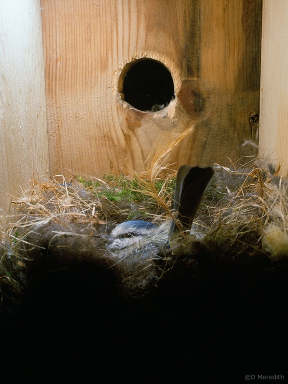 Female Blue Tit egg laying