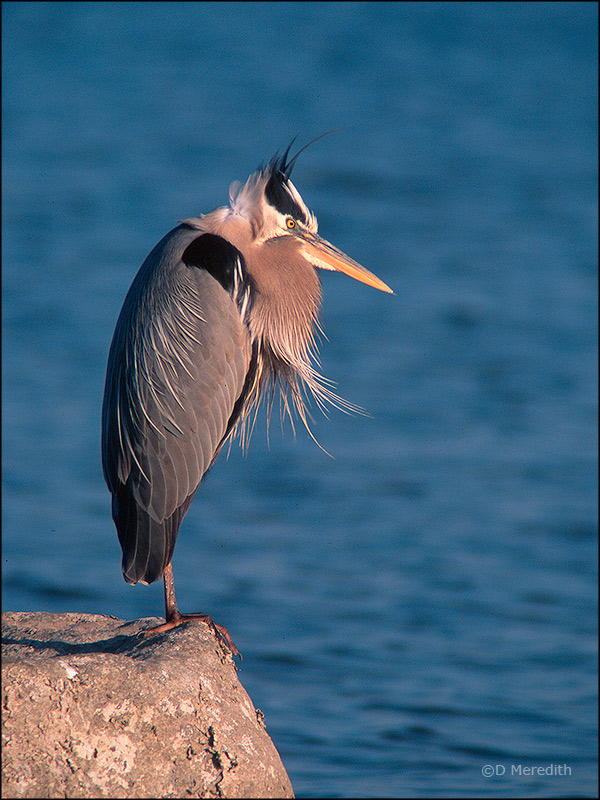 Grumpy the Great Blue Heron.