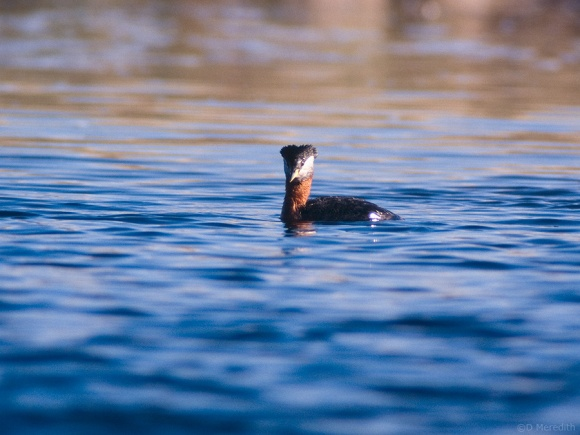 Red-necked Grebe watching the photographer