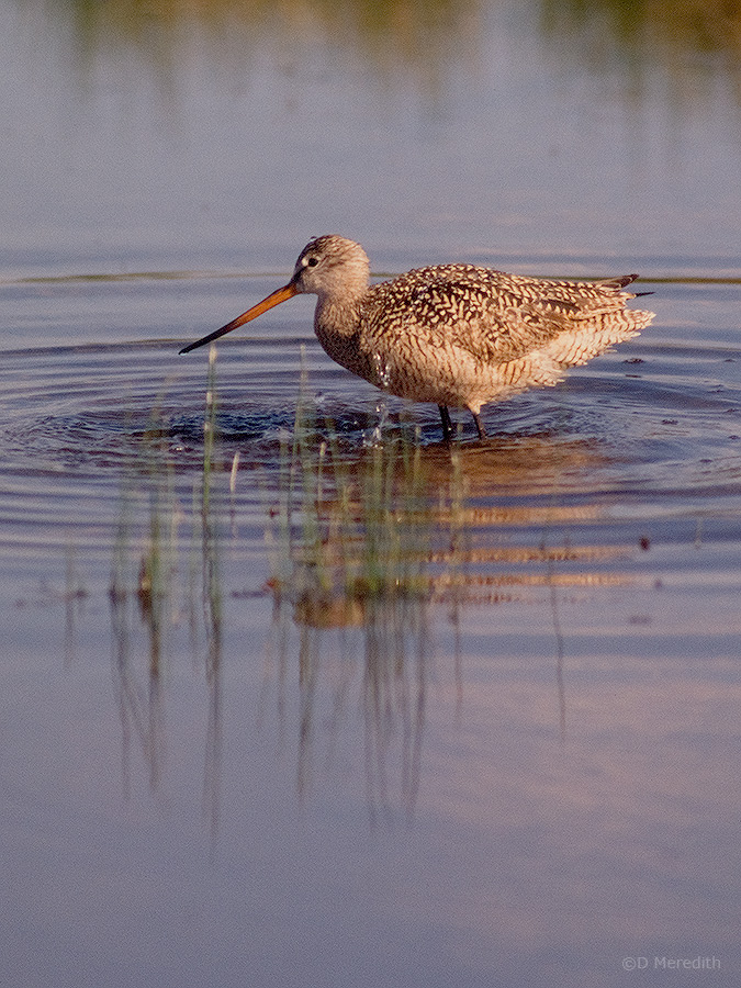 A bathing Marbled Godwit.