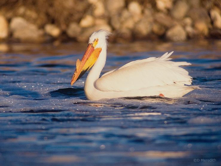 Breeding adult American White Pelican