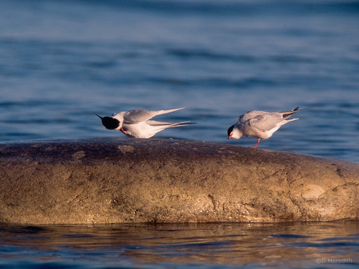 Preening Common Terns