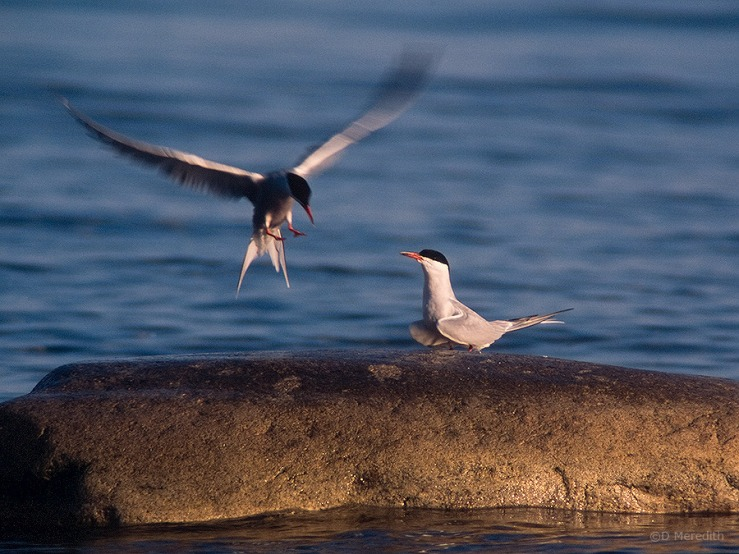Two Common Terns
