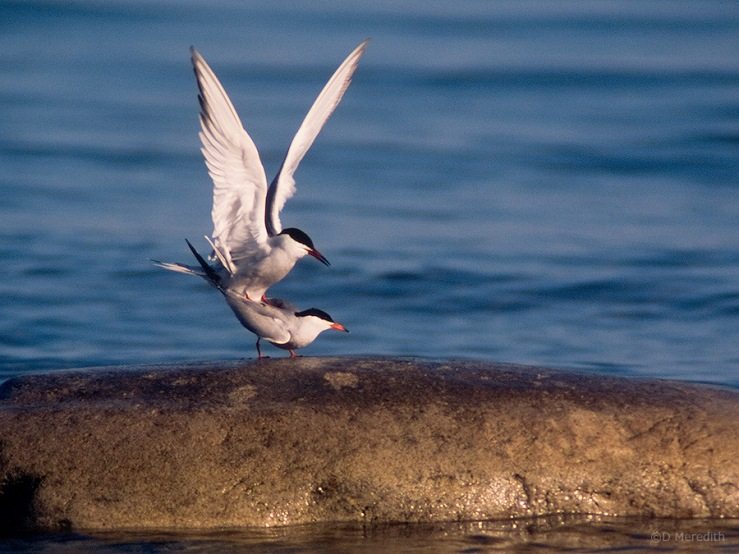 mating Common Terns