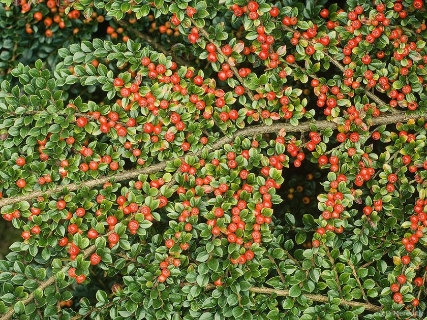 Berries of a Cotoneaster.