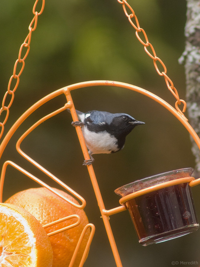 Male Black-throated Blue Warbler.