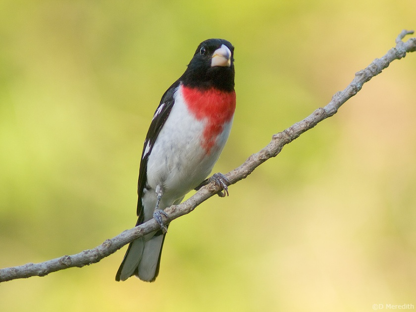 Archaic bird photography of a Rose-breasted Grosbeak.