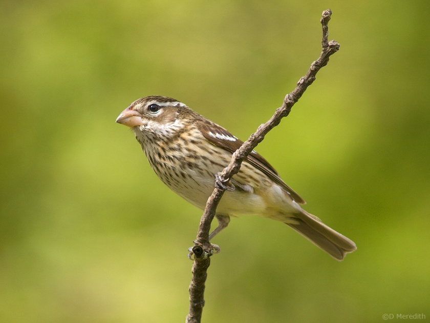A spring Rose-breasted Grosbeak.