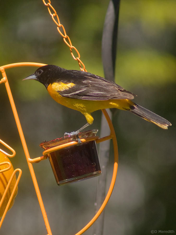 A Baltimore Oriole on an Oriole feeder.