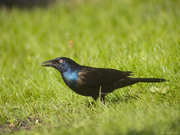 A spring Common Grackle.