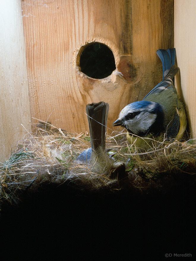 Feeding during incubation.