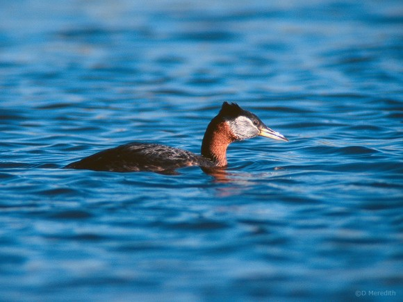 Red-necked Grebe on Last Mountain Lake.