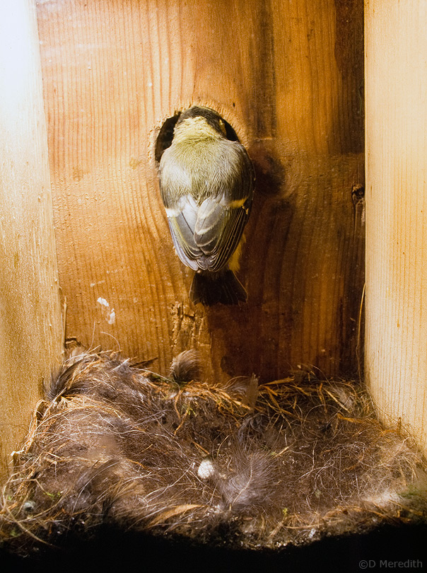 The last young left in the nestbox.