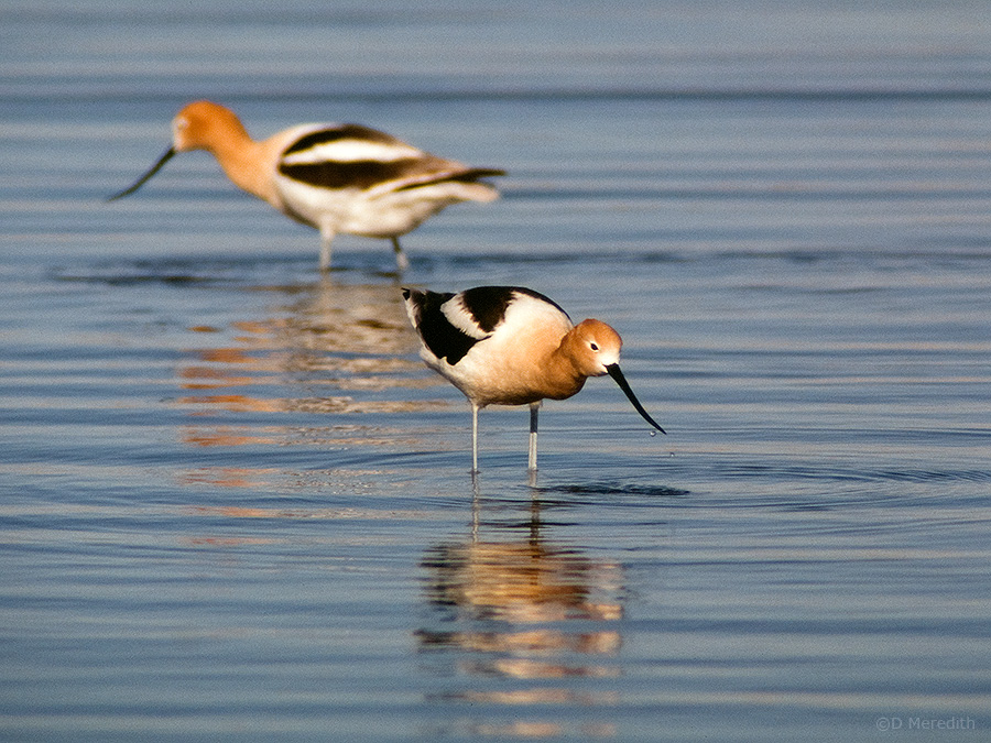 A pair of American Avocets.