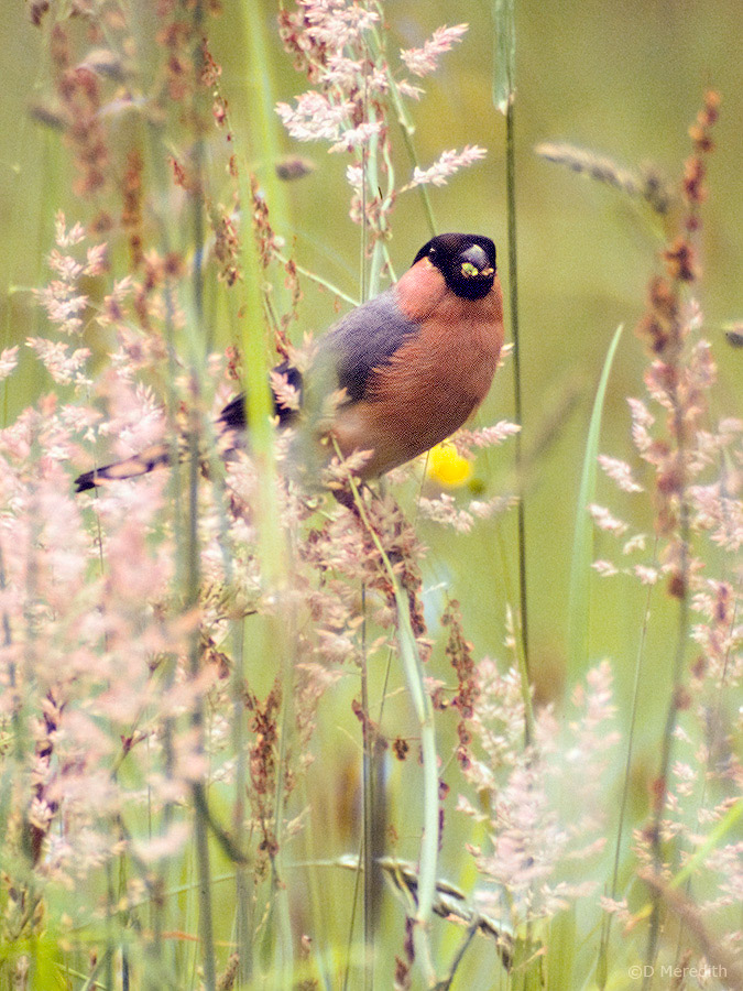 Male Eurasian Bullfinch.