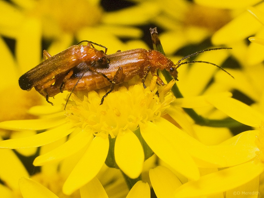 Soldier Beetles mating on Ragwort flowers.